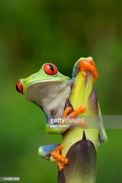 red-eye tree frog in rainforest - tree frog stock pictures, royalty-free photos & images