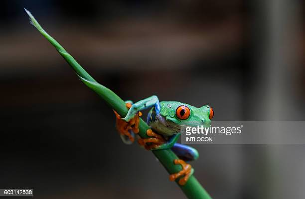 A Redeyed green frog photographed at the Montibelli private wildlife reserve in the municipality of Ticuantepe 15km south of Managua on September 9...