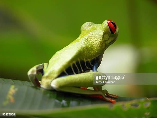grenouille cornue aux yeux rouges, au costa rica - grenouille photos et images de collection