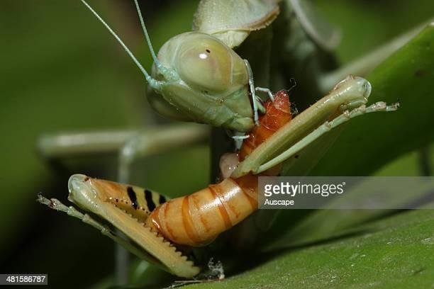 A redeyed praying mantis Hierodula sp feeding on a mealworm Western Australia