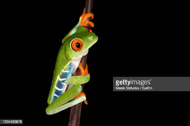 red-eyed tree frog - agalychnis callidryas climbing on a branch - marek stefunko stock pictures, royalty-free photos & images