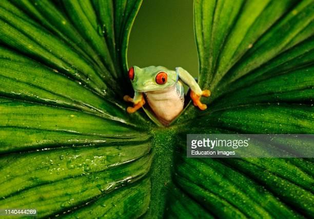 Red-eyed Tree Frog, Agalychnis callidryas, peering through leaf, captive.
