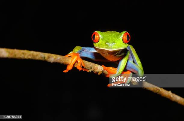 red-eyed tree frog at night, costa rica - tree frog stock pictures, royalty-free photos & images