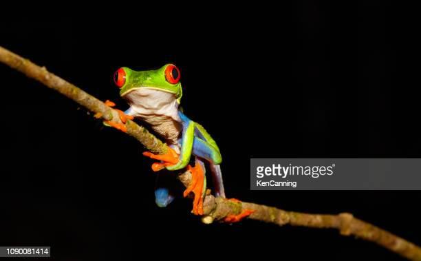 red-eyed tree frog at night, costa rica - parte del corpo animale foto e immagini stock