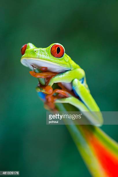 red-eyed tree frog climbing on heliconia flower, costa rica animal - vilda djur bildbanksfoton och bilder