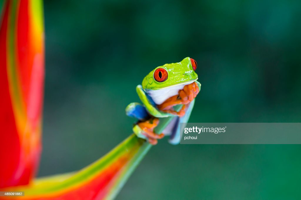 Red-Eyed Tree Frog climbing on heliconia flower , Costa Rica animal. Agalychnis callidryas