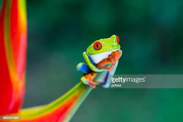 rainette aux yeux rouges d'escalade sur héliconia fleur, au costa rica animal - grenouille photos et images de collection