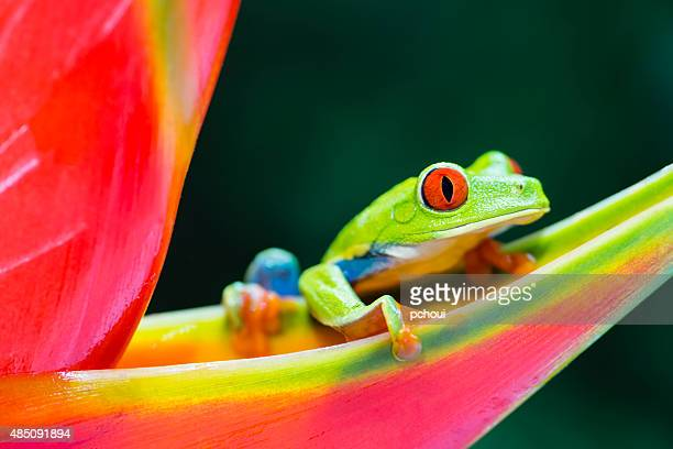 red-eyed tree frog climbing on heliconia flower, costa rica animal - bontgekleurd stockfoto's en -beelden