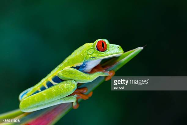 red-eyed tree frog climbing on heliconia flower, costa rica animal - costa rica stock photos and pictures