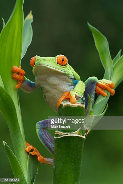 red-eyed tree frog climbing on plant - animal finger stock photos and pictures