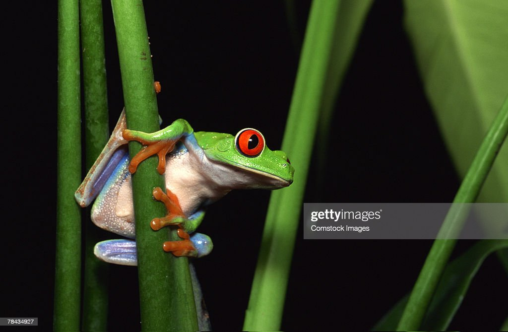 Red-eyed tree frog clinging to plant : Foto de stock