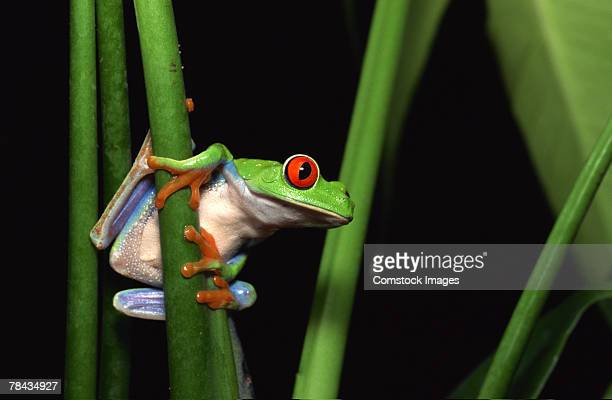 red-eyed tree frog clinging to plant - tallo fotografías e imágenes de stock