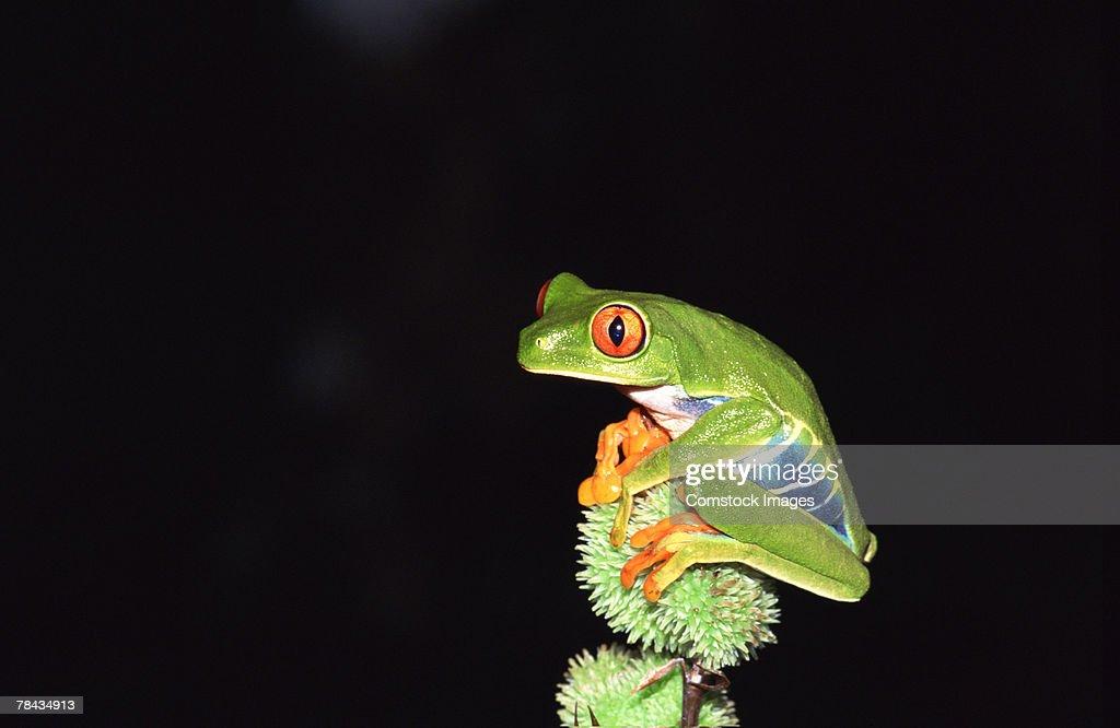 Red-eyed Tree Frog , Costa Rica : Stockfoto