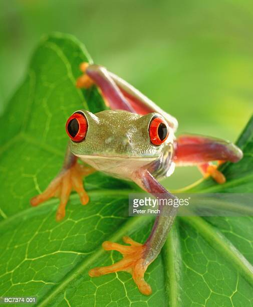 Red-eyed tree frog (Agalychnis callidryas) crouching on leaf