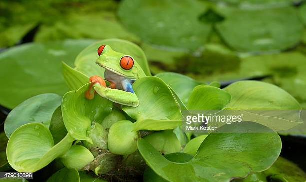 Red-eyed Tree Frog in Rainforest Swamp