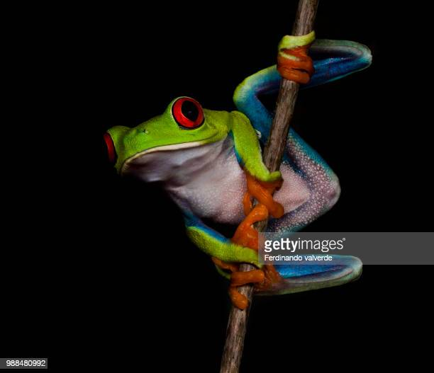 A red-eyed tree frog on a stick.