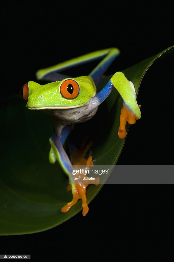 Red-eyed tree frog (Agalychnis callidryas) on leaf : Stockfoto