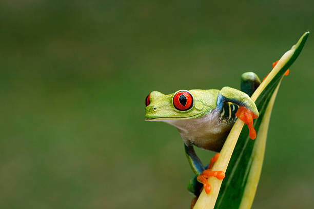 Red-eyed Tree Frog On Snake Plant- Nature Background Wall Art