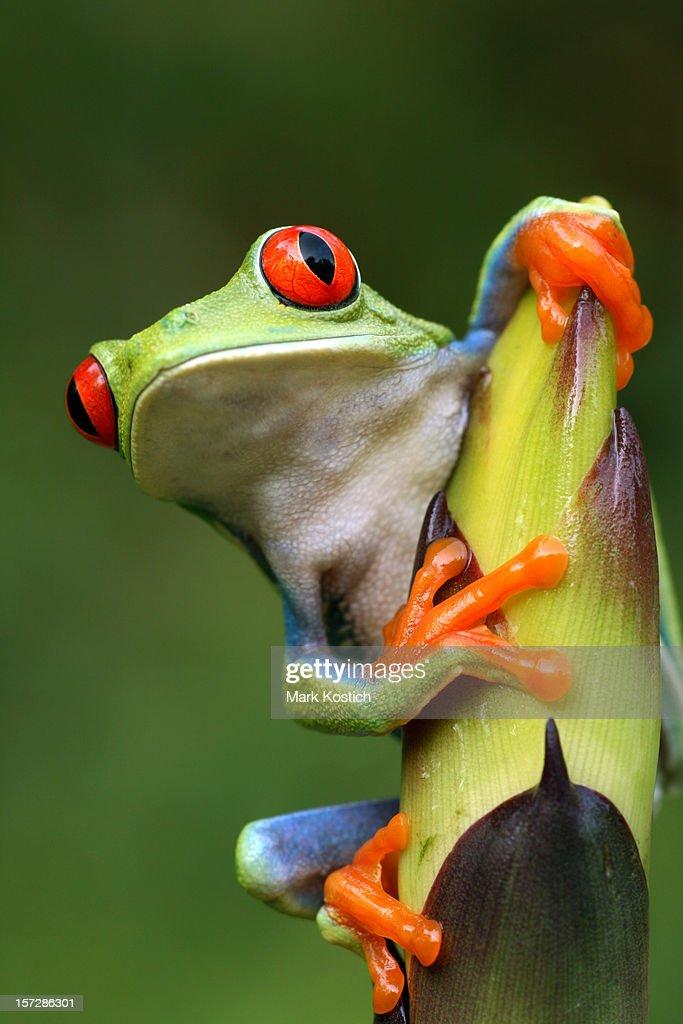 Red-eyed Tree Frog Peeping Around Plant : Stock Photo