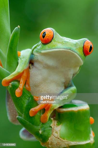 red-eyed tree frog peering over plant - animal finger stock photos and pictures