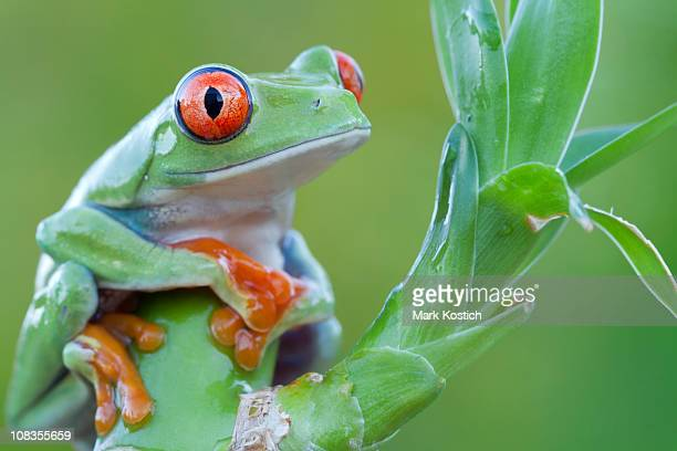 red-eyed tree frog perched on plant - animal finger stock photos and pictures