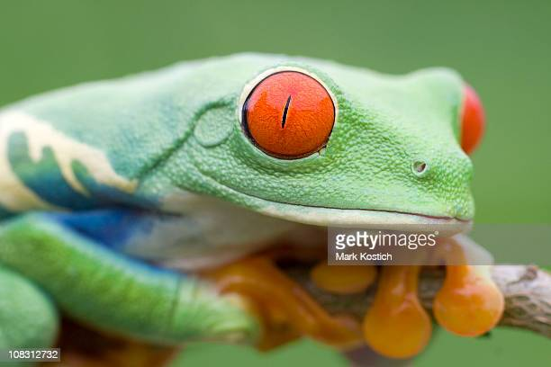 red-eyed tree frog - animal finger stock photos and pictures