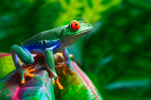 Red-Eyed Tree Frog 108348088