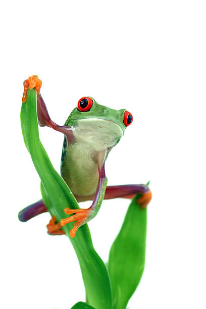 Red-eyed Tree Frog Wall Art
