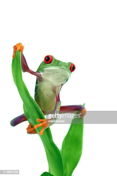 red-eyed tree frog - frog stock pictures, royalty-free photos & images