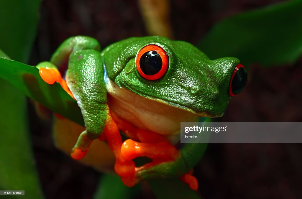 red-eyed tree frog : Stock Photo