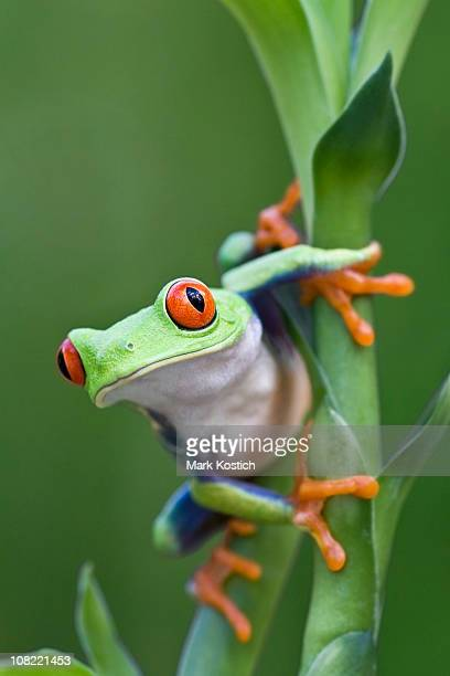 red-eyed tree frog ready to leap off plant - tree frog stock pictures, royalty-free photos & images
