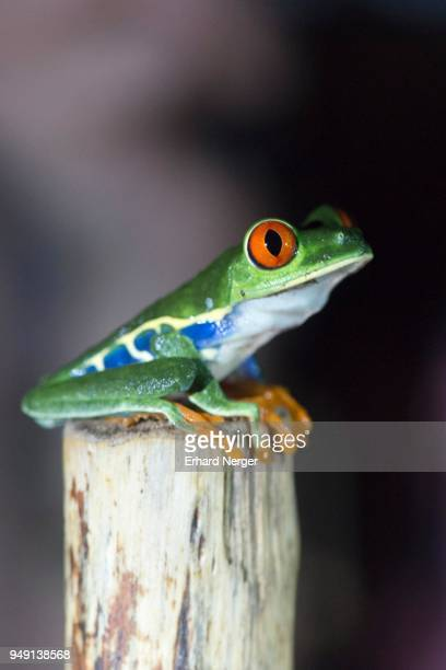 Red-eyed tree frog (Agalychnis callidryas) sitting on branch, Alajuela Province, Costa Rica