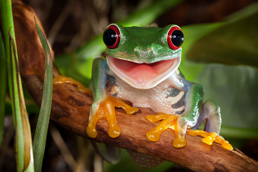 Red-eyed tree frog smile 1049028724