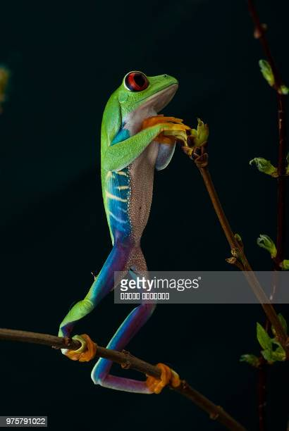 A red-eyed tree frog standing on a branch.