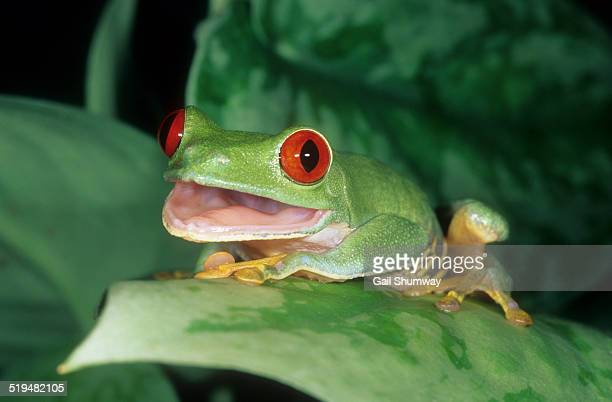 Red-eyed Tree Frog With Mouth Open