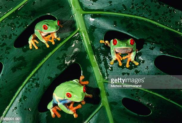 Red-eyed tree frogs (Agalychnis callidryas) on leaf, close-up
