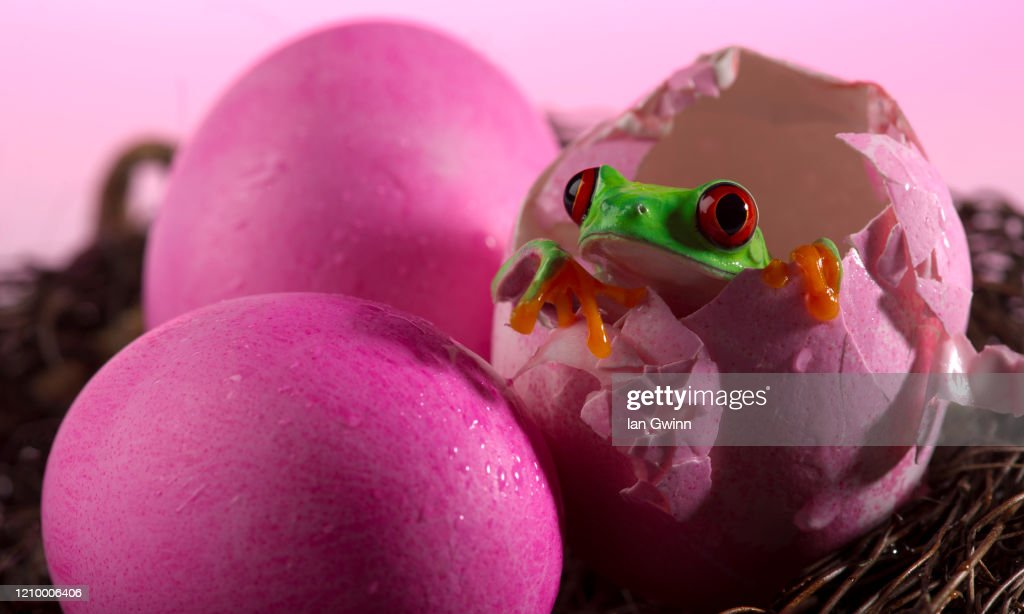 Red-Eyed Treefrog in Pink Eggshell : Stock Photo