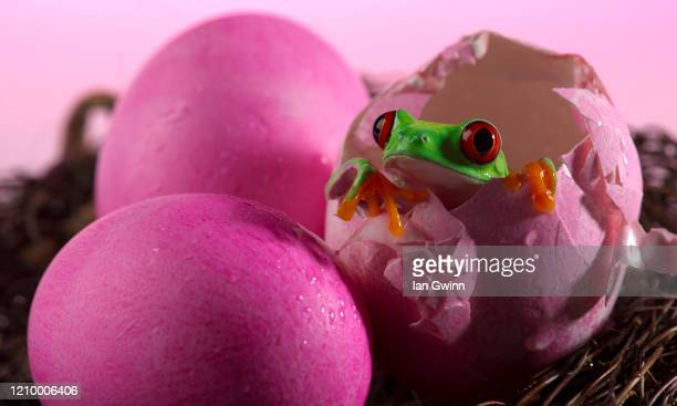 red-eyed treefrog in pink eggshell - ian gwinn stock pictures, royalty-free photos & images