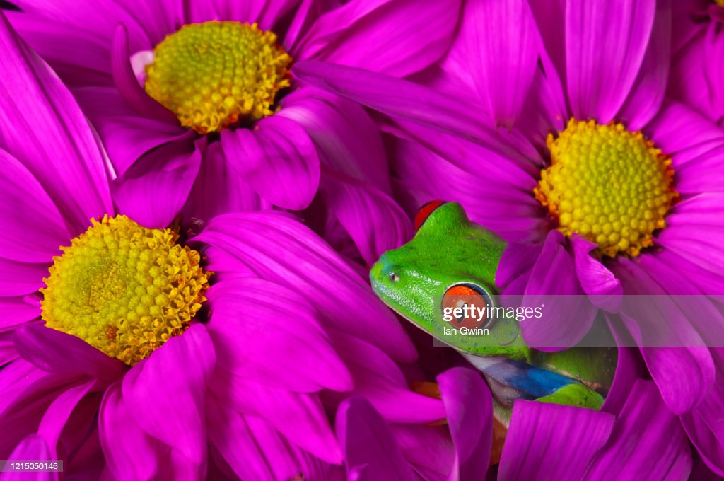 Red-Eyed Treefrog in Pink Flowers : Stock Photo