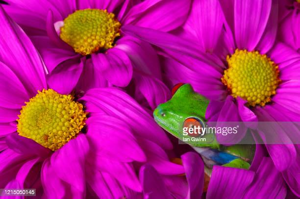 red-eyed treefrog in pink flowers - ian gwinn stock pictures, royalty-free photos & images