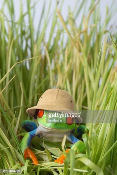red-eyed treefrog in pith helmet - ian gwinn fotografías e imágenes de stock