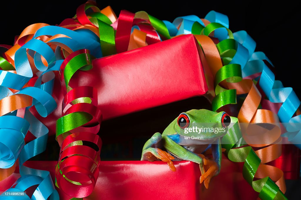 Red-Eyed Treefrog in Red Package : Stock Photo