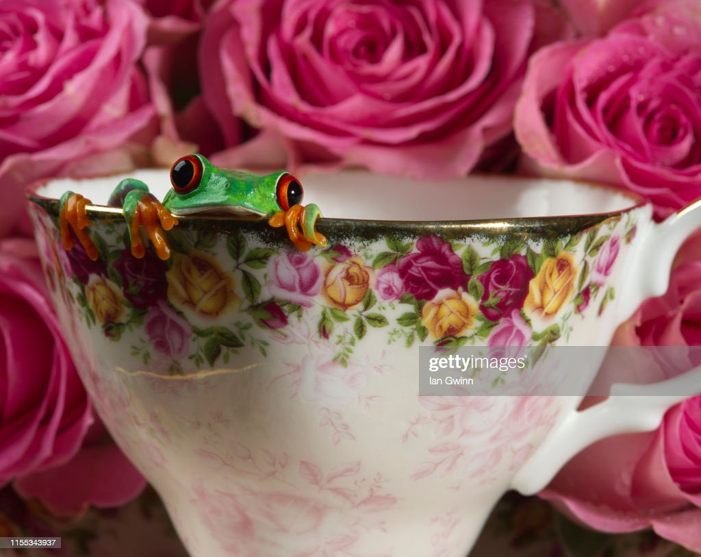 Red-Eyed Treefrog in Teacup : Stock Photo