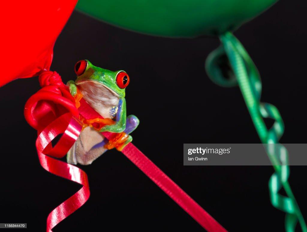 Red-Eyed Treefrog on Balloons : Stock Photo