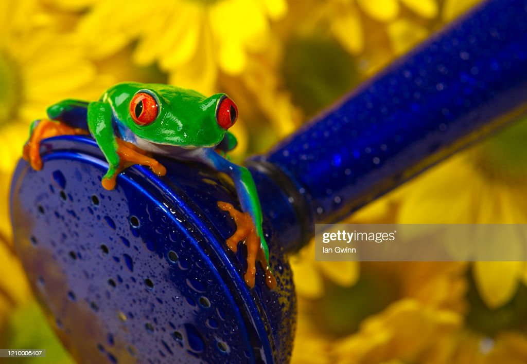 Red-Eyed Treefrog on Blue Watering Can : Stock Photo