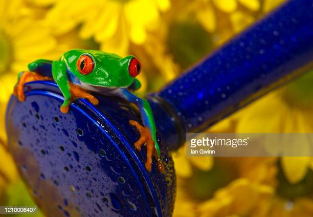 red-eyed treefrog on blue watering can - ian gwinn stock pictures, royalty-free photos & images