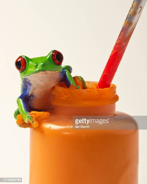 red-eyed treefrog on orange paint - ian gwinn stock pictures, royalty-free photos & images