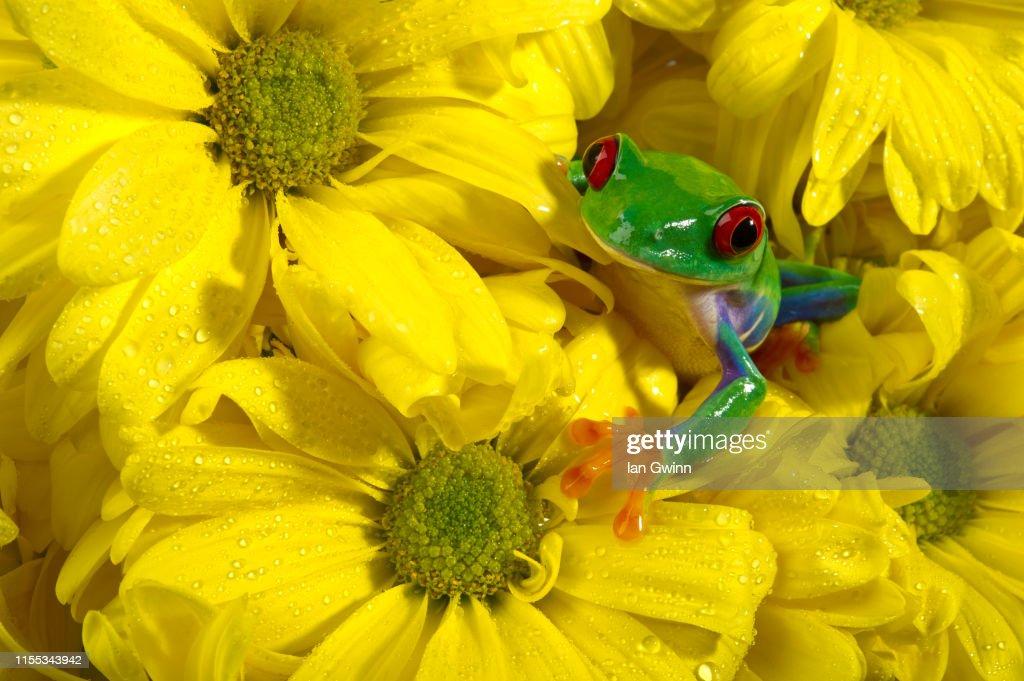 Red-Eyed Treefrog on Yellow Flowers : Stock Photo