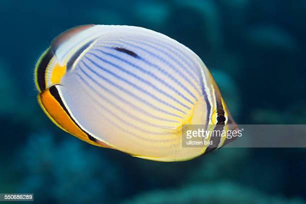 Redfin Butterflyfish Chaetodon trifasciatus Thaa Atoll Maldives