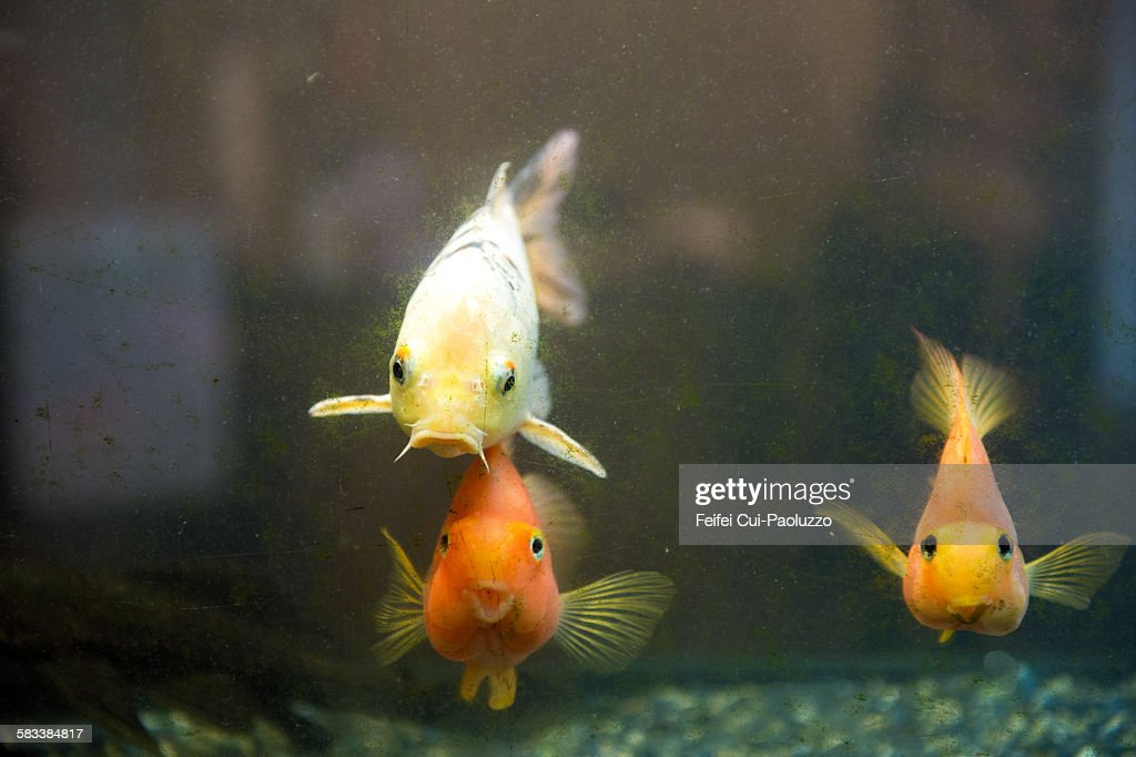 Redfish and aquarium : Stock Photo